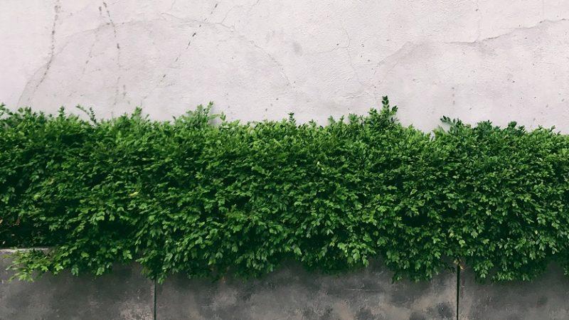 Živý plot – údržba a tvarovanie